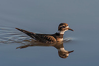 Kildeer Swimming, Bosque del Apache NWR, New Mexico