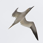 Northern gannet flies overhead in search of menhaden.  Graceful form revealed along with delicate feather structure show with backlighting.