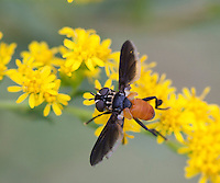 Tachinid fly; Trichopoda pennipes; on goldenrod; PA, Philadelphia; Morris Arboretum