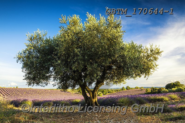 Tom Mackie, LANDSCAPES, LANDSCHAFTEN, PAISAJES, photos,+Olive Tree and Lavender, Provence, France,Europe, European, France, Mediterranean, Plateau de Valensole, Provence, Tom Mackie+, Valensole, bloom, blooming, french, horizontal, horizontals, landscape, landscapes, lavender, olive, scenery, scenic, touri+st attraction, travel, tree, trees++,GBTM170644-1,#l#, EVERYDAY
