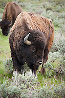 Bison on the Antelope flats, Grand Tetons National Park
