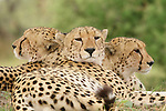Cheetah brothers at the Kwara Reserve, Okavango Delta, Botswana.