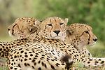 Cheetah brothers at the Kwara Reserve, Okavango Delta, Botswana.