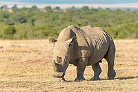 White Rhinoceros (Ceratotherium simum), Ol Pejeta Reserve, Kenya, Africa