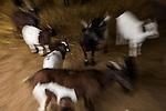 Domestic Goat (Capra hircus) herd in pen, France