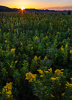 Early morning sunrise light illuminates Goldenrod in spectacular bloom at Springbrook Prairie Forest Preserve in DuPage County, Illinois
