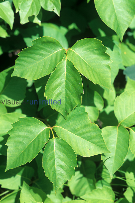 Poison Ivy leaves (Toxicodendron radicans), North America.