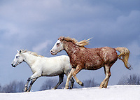 Bashkir curly horse mares gallop across rise in snow.