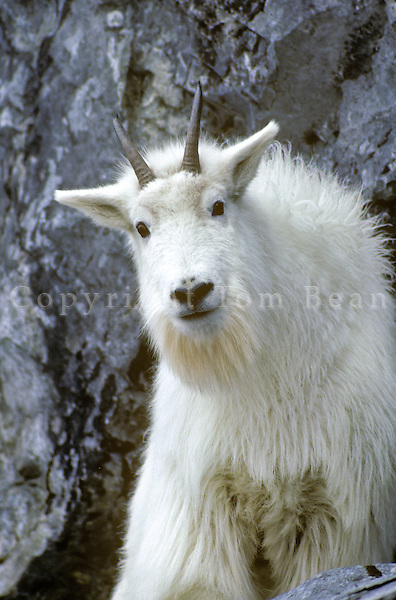 Mountain Goat, Oreamnos americanus,  poised on cliff edge, Gloomy Knob, Glacier Bay National Park, Alaska AGPix_0004.