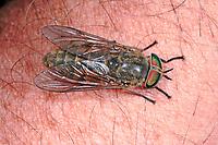 Bremse, sticht in menschlichen Arm, auf Haut, Blutsaugend, Blutsauger, Tabanus tropicus