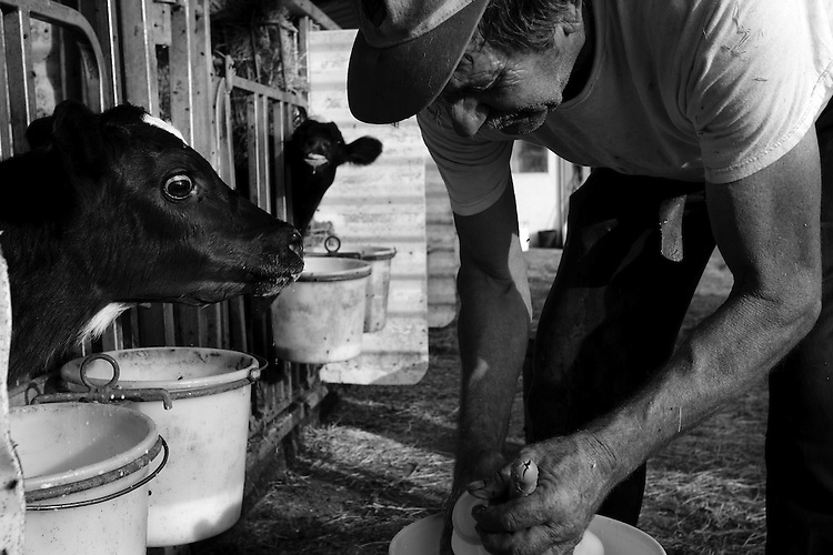 Calves become excited at feeding time as Nial Bauernfeind readies a bottle of fresh milk, at the Weiss Dairy Farm in Swan Lake, NY.