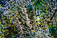 Crinoid Shrimp, Periclimenes cornutus, on a featherstar, Bitung, Lembeh Strait, Sulawesi, Celebes Sea, Indo-Pacific, Indonesia