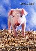 Xavier, ANIMALS, REALISTISCHE TIERE, ANIMALES REALISTICOS, pigs, photos+++++,SPCHPIG22,#a#, EVERYDAY