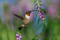 Ruby-throated Hummingbird (Archilochus colubris), male in flight feeding on flower, Hill Country, Central Texas, USA