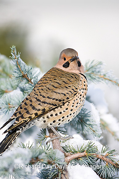 01193-014.14 Northern Flicker (Colaptes auratus) male on Blue Atlas Cedar (Cedrus atlantica 'Glauca') in winter Marion Co.  IL