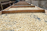 Raw coffee beans drying on palettes in the sun, Pua'a Kea Farm, Pa'auilo, Hamakua area, Big Island.