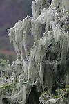 Beard lichen at Butano State Park