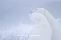 01874-13204 Polar Bears (Ursus maritimus) during snowstorm Churchill Wildlife Management Area, Churchill, MB