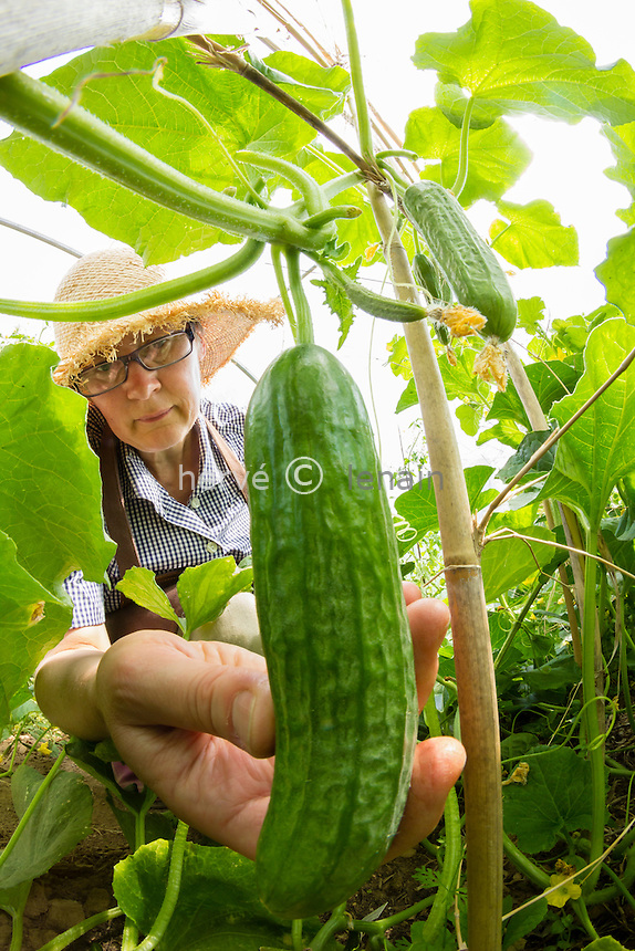 Gardener and cucumber (Cucumis sativus) in a greenhouse // récolte de concombre en serre (model release OK)