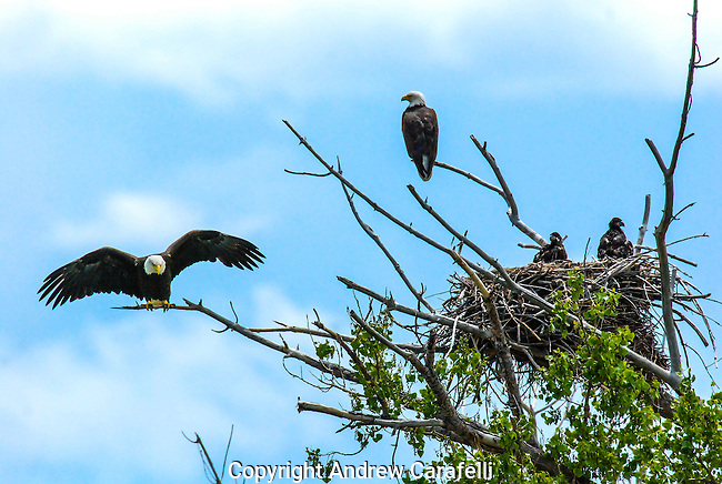 A Bald Eagle couple watches guard over its young eaglets in a nest north of Denver, Colorado.