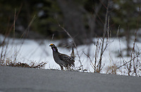 Sharp-Tailed Grouse (Tympanuchus phasianellus) in Southcentral Alaska.