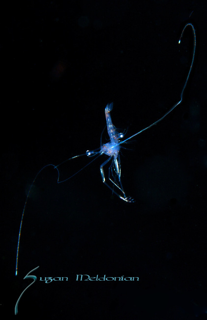Shrimp on the Fly  on black water dive, Gulfstream current.