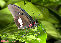 0101-0908  Transandean Cattleheart Swallowtail (Pink Cattleheart Butterfly), Parides iphidamas, Central America © David Kuhn/Dwight Kuhn Photography