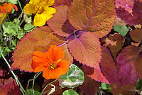 Nasturtiums Tropaeoleum Alaska mix with variegated green and white foliage and in yellow and orange flowers, and Coleus Solenostemon Sedona, annual plants, annual foliage plant with annual flowers . Lobed, rounded leaves with a unique rusty orange color; named after the Sedona Mountains.