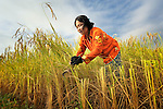 Korb Thouen harvests her rice in Thnort Rorleung, a village in the Kampot region of Cambodia. She has used organic fertilizer to improve her soil fertility and increase her harvest.