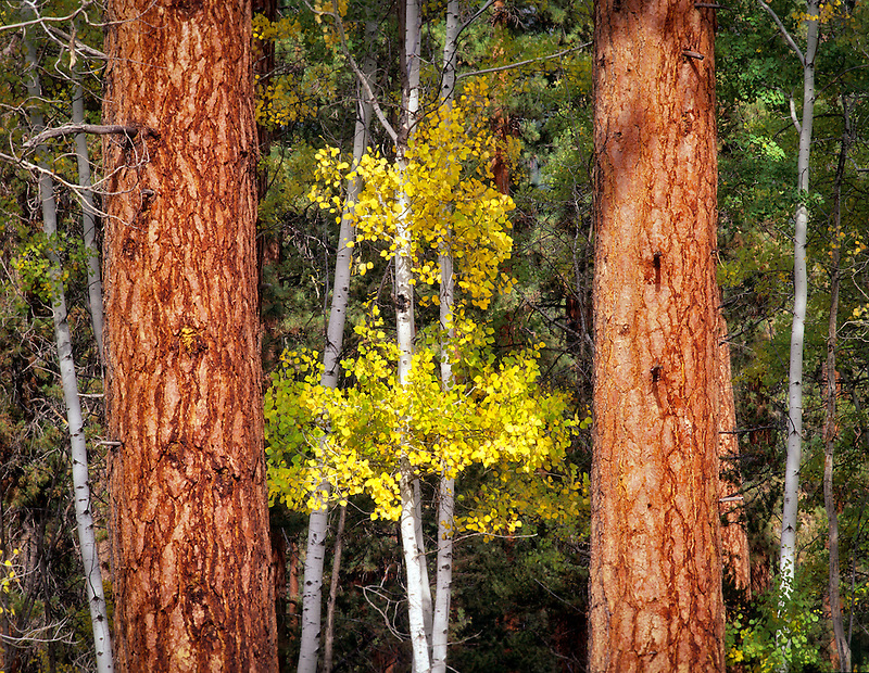 Ponderosa Pines and Aspen in fall color. Near Sisters, Oregon.