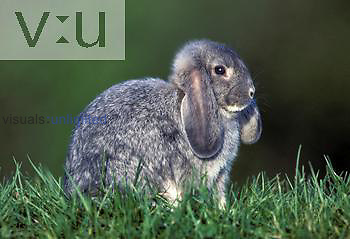 Lop-eared Domestic Rabbit.