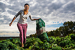 Sandra Ngo, Community Resource Coordinator<br /> Multicultural Health Brokers, Faculty of Extension (ENRICH) harvests Kale on September 28, 2016. <br /> <br /> Credit: John Ulan