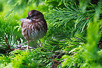 Song sparrow perched on branches of gold rider leyland cypress tree, Snohomish, Washington, USA