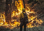US Forest Service firefighter watches backfire to ensure no spot fires escape the area on Old Yosemite Road, Division S of the Rim Fire.