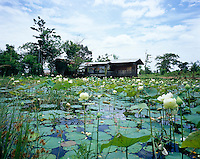 A wet field of lotus flowers growing on the outskirts of Bangkok