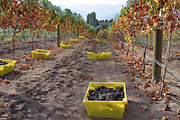 Wine grapes are picked in and stored in small plastic boxes for pickup for the crusher.