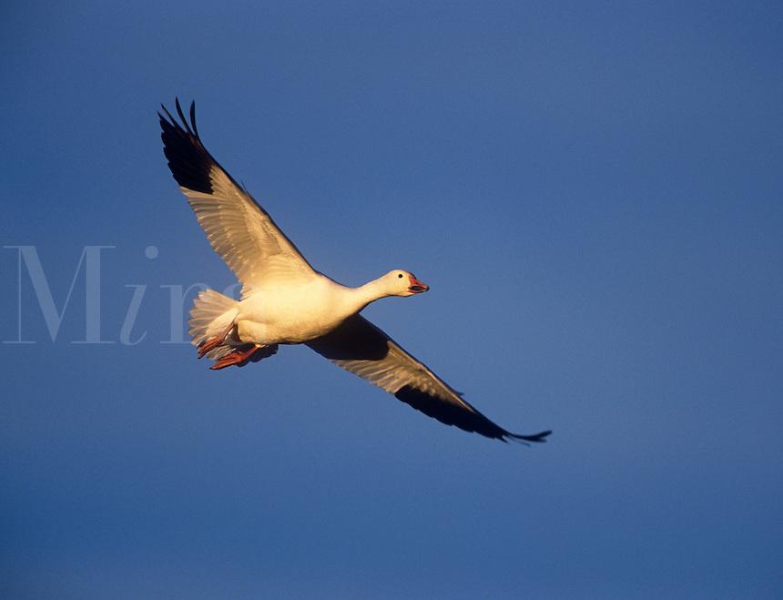 Snow goose in flight, blue sky background, Bosque del Apache