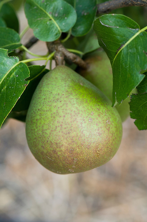 Pear 'Beurré Hardy', mid August. Dates back to early-19th-century France. It takes its name from Monsieur Hardy, head of arboriculture at the Luxembourg Gardens in Paris. Large, russetted fruits with smooth, white flesh and a fine flavour. Pick while slightly under-ripe and store until ready to eat.