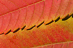 sumac leaves autumn