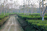 A dusty track meanders through a tea plantation at Srimongal