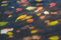 Colorful fall leaves through surface of creek