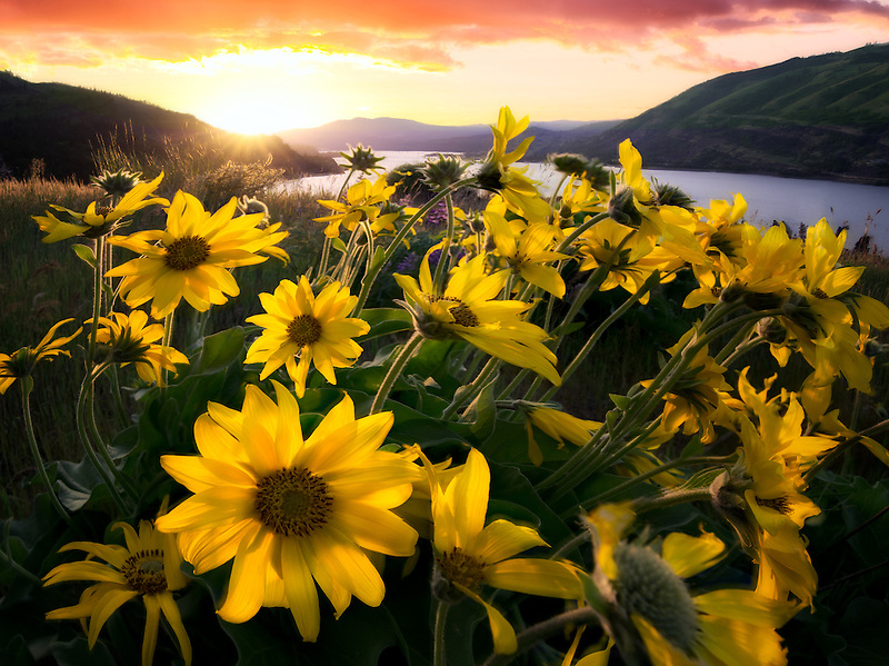 Balsamroot wildflowers and sunset. Columbia River Gorge National Scenic Area, Oregon