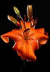 26 January 2010 -- Daily picture for January 26, 2010 Photograph of an orange Asiatic Lily, (Lilium hybridum) on a black background. PHOTO/Daniel Johnson (Copyright 2010 Daniel Johnson)