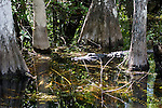 Cypress trees stand in shallow pools, shared by alligators and other wildlife.
