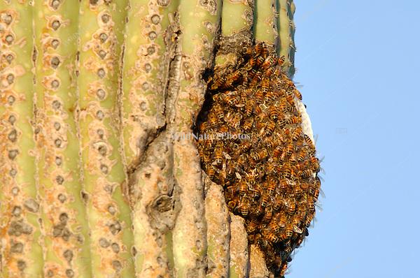 Honeybee hive (Apis mellifera) in a Saugaro cactus; Sonoran Desert, Arizona