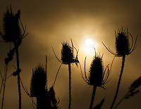 Gift card photo of sunrise through the fog silhouettes the common teasel (Dipsacus fullonum) and grasses in a field