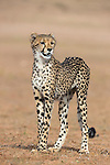 Cheetah cub (Acinonyx jubatus) Kgalagadi Transfrontier Park, Northern Cape, South Africa, January 2014