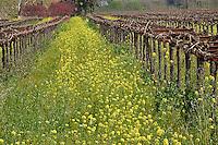 Wild mustard flowers in vineyard, Napa Valley, California