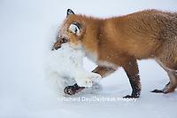 01871-02911 Red Fox (Vulpes vulpes) eating Arctic Fox (Alopex lagopus) at Cape Churchill, Wapusk National Park, Churchill, MB
