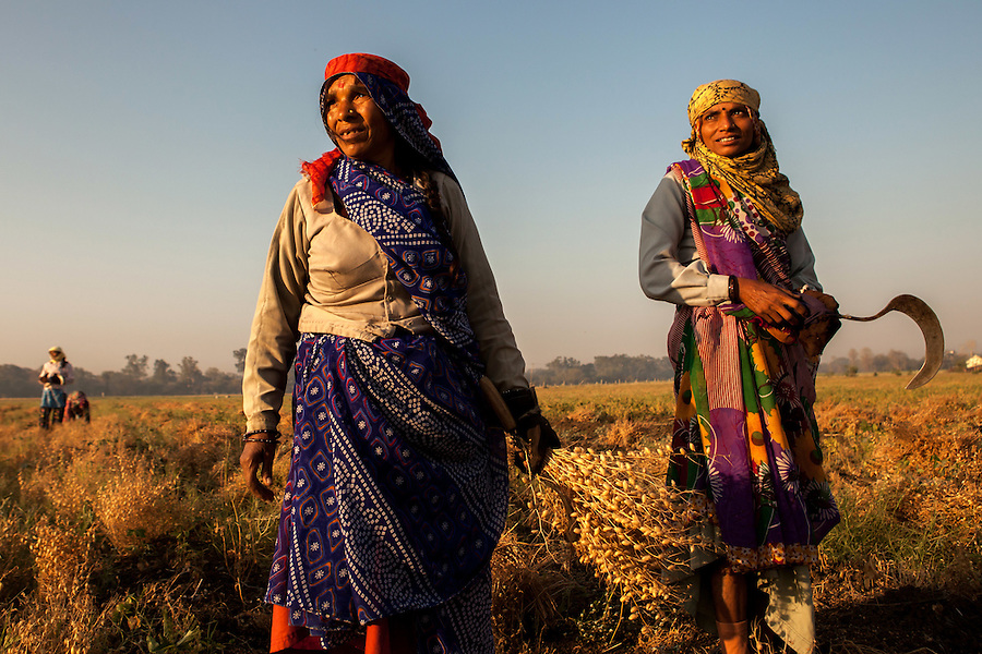 """Agricultural workers harvest """"gram"""" (chickpeas) in Indore, India. Women are the backbone of the rural economy, especially in the developing world yet they receive only a fraction of the land, credit, inputs (such as improved seeds and fertilizers), agricultural training and information compared to men.  Also, women tend to be employed for labor-intensive tasks, generally earn lower wages than men and are more likely to be paid at piece rate."""